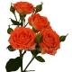 кустовая роза Беби