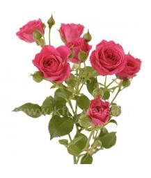 роза_Lovely Lidia