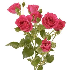 кустовая роза Лав Лидия