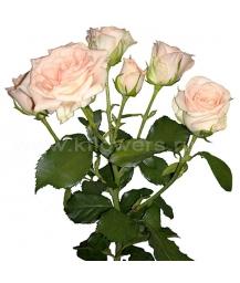 rose Sweet Sara