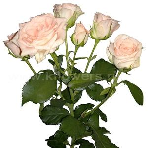 кустовая роза Свит Сара
