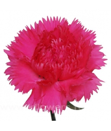 carnations2