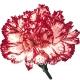Гвоздика бело-бордовая