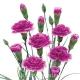 Гвоздика кустовая фиолетово-белая