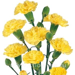 Гвоздика кустовая жёлтая