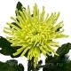 хризантема деко Анастасия зелёная