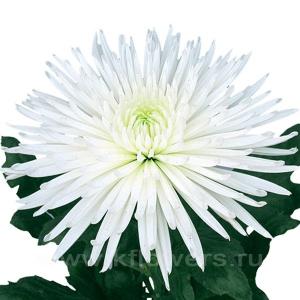 хризантема деко Анастасия белая