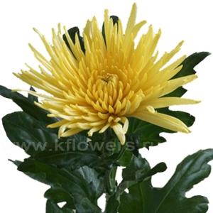 хризантема деко Анастасия жёлтая