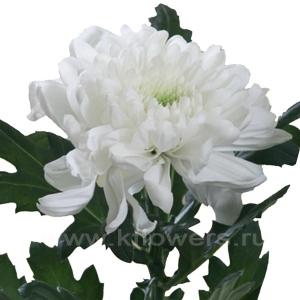 хризантема деко Зембла белая