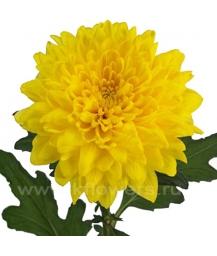 хризантема_Zembla yellow