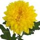 хризантема деко Зембла желтая