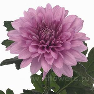 хризантема деко Резоми