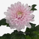 хризантема деко Розано
