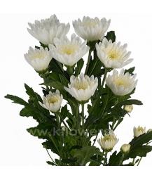хризантема кустовая_Amira