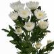 хризантема кустовая Амира
