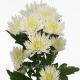 хризантема кустовая Анастасия белая
