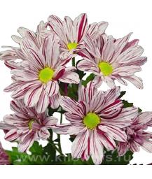 хризантема кустовая_Artist pink
