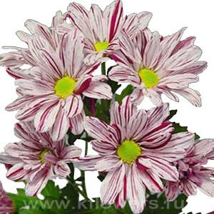 хризантема кустовая Артист розовый