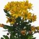 хризантема кустовая Артист жёлтый
