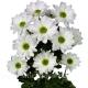 хризантема кустовая Бакарди