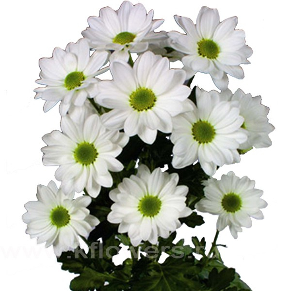 хризантема фото радость