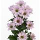 хризантема кустовая Бакарди розовая