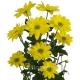 хризантема кустовая Бакарди жёлтая