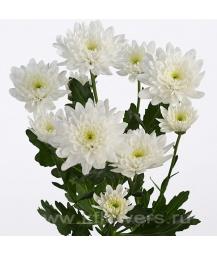 хризантема кустовая_Baltica
