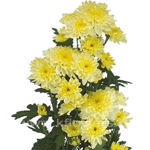 хризантема кустовая Балтика кремовая