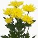 хризантема кустовая Балтика  жёлтая