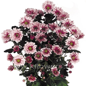 хризантема кустовая Биаритц