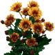 хризантема кустовая Биаритц  жёлтая