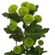 хризантема кустовая Филин грин