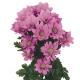 хризантема кустовая_Crand Pink