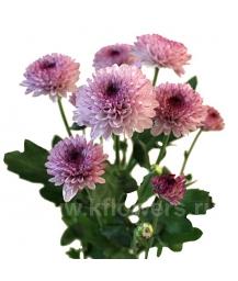 хризантема кустовая Лолипоп розовый