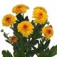 хризантема кустовая Лолипоп желтый