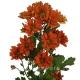 хризантема кустовая Папая