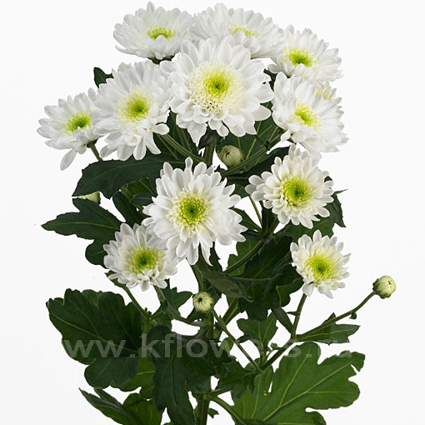 хризантемы кустовой
