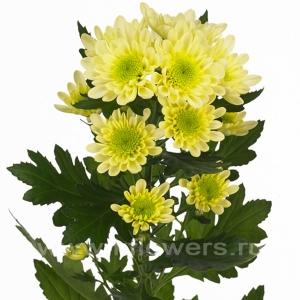 хризантема кустовая Радость кремовая
