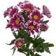 хризантема кустовая Саунд