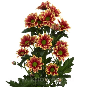 хризантема кустовая Тимман желтый