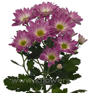 хризантема кустовая Тошка