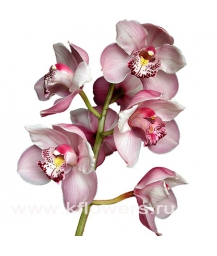 орхидея_Cymbidium