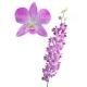 орхидея_Dendrobium