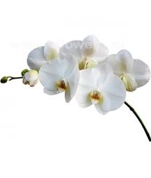 орхидея_phalaenopsis