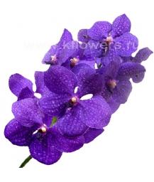 орхидея_Vanda