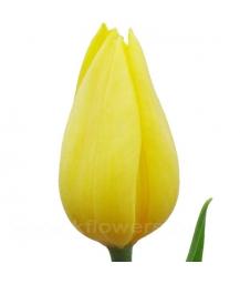 тюльпан_Strong gold