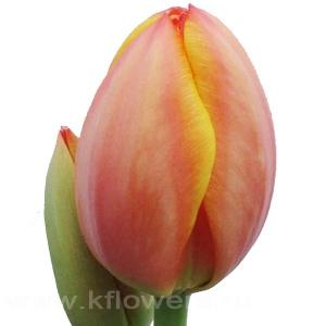 тюльпан Ад рем