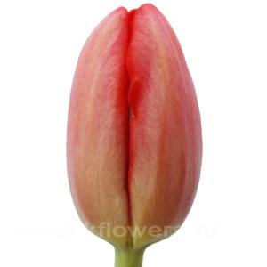тюльпан Авеню
