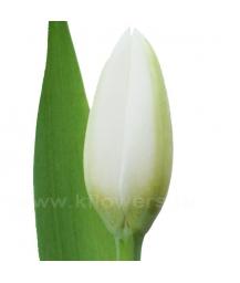 тюльпан_Holland snow